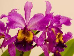 Orchid-Hybrid: Cattleya Hardyana - Flickr - Photo Sharing!