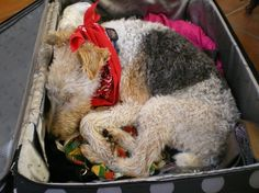 Sweet Wire Fox Terrier found a nice bed?