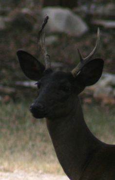 Black deer. A rare beauty just like you.