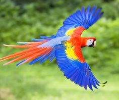 A Scarlet Macaw flys freely in the jungle. Beautiful Birds, Animals Beautiful, Parrot Tattoo, Animals And Pets, Cute Animals, Parrot Painting, Types Of Butterflies, Latino Art, Z Arts