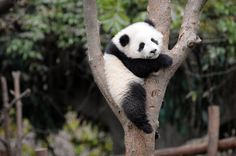 Panda Bear Wallpapers Panda Bear Wallpapers  Download Free