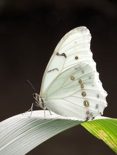 The White Morpho (Morpho polyphemus) is a white butterfly of Mexico and Central America, ranging as far south as Costa Rica. As suggested by its name, this is one of the relatively few morphos that is white rather than blue. (Photo by Kathryn Willett)