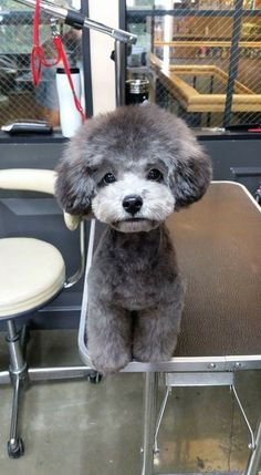 Poodle puppy - Tap the pin for the most adorable pawtastic fur baby apparel! You'll love the dog clothes and cat clothes! <3