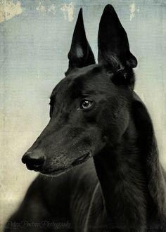 Black galgo is beauty