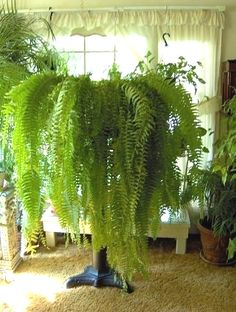 Ferns - another very common plant and most people fall in love with the wide spread these plants give when potted in hanging baskets. From light green to medium green in color, to care for your Ferns, keep tehm in indirect light while maintaining soil moisture at all times. The leaves will start to wither or turn yellow if light is not enough and you'll know when to bring them out in a semi-shaded area.