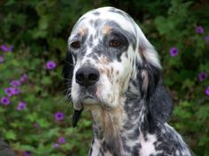 """Click visit site and Check out Cool """"English Setter"""" T-shirts. This website is top-notch. Tip: You can search """"your name"""" or """"your favorite shirts"""" at search bar on the top."""