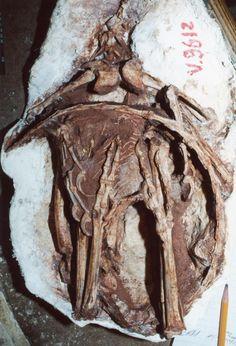 """Young troodontid dinosaur Sinornithoides from China, preserved in a """"sleeping"""" pose; what a fossil!"""