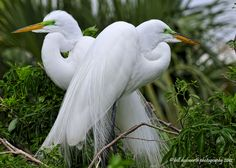Love Birds.  A mating pair of Great White Egrets.