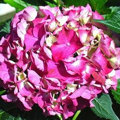 Glowing Embers Hhydrangea is budded and blooming @GreenleafOK.