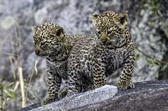"Photo ""5weekoldleopardcubs"" by mytmoss"