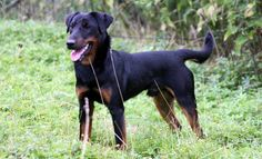 The most remarkable hunting dog breed that you can have presently would be the German Hunting Terrier.