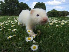 Pretty ferret, aka frettchen, fretka, huron. ✨