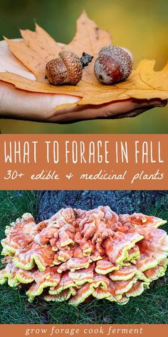 What to Forage in Fall: Edible and Medicinal Plants and Mushrooms Learn about what to forage in fall! Autumn is an abundant time for foraging and wildcrafting. Fall foraging includes berries, nuts, roots, and mushrooms. Cough Remedies For Adults, Survival Food, Survival Skills, Bushcraft Skills, Survival Tent, Survival Videos, Survival Hacks, Survival Shelter, Survival Quotes