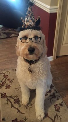 Have to be like my brother and wear my glasses! Awesome Dogs, Cute Dogs, Doggies, Dogs And Puppies, Italian Side, Golden Doodles, Dog Haircuts, Labradoodles, Cockapoo