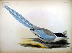 Azure-winged Magpie, from Fauna Japonica, Illustrations of the birds observed in Japan by Dutch travelers, Philipp Franz von Siebold, 1842.