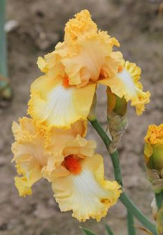 TB Iris germanica 'Fall Fashion' (Johnson, 2007)
