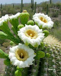 cactus blossoms.