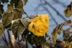 Yellow Ice Rose - A beautiful frozen ice rose captured during a morningwalk through my hometown