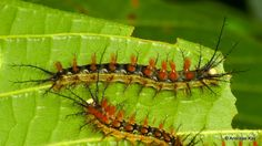 https://flic.kr/p/SYstgQ   Spiny Caterpillars, Saturniidae   from Ecuador: www.flickr.com/andreaskay/albums
