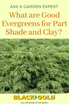"""Question: """"What are some good smaller evergreens for areas that are a little shady and have clay soil? Answer: Whenever someone asks about evergreens for partial shade, I always turn to one of my favorite coniferous evergreens. Shade Evergreen Shrubs, Evergreens For Shade, Evergreen Bush, Evergreen Landscape, Shade Shrubs, Shade Garden Plants, Conifer Trees, Clay Soil Plants, Planting In Clay"""