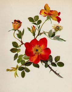 Vintage ROSE Print Botanical Print Gallery Wall Art Cottage Decor Roseart #1568
