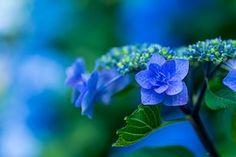 Hydrangea, Blue Petals, Plant, Japan