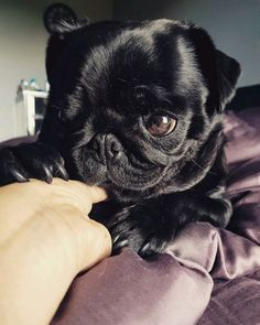Join the Pugs has thousands of cute Pug photos to share! Black Pug Puppies, Dogs And Puppies, Doggies, Black Dogs, Pug Pictures, Cute Animal Pictures, Cute Pugs, Cute Funny Animals, Black Dog Syndrome