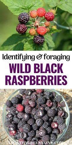 If you've never foraged wild black raspberries before, you're going to be blown away by these flavorful, easy-to-find wild berries. Also known as black caps berries or blackcap raspberries, these tasty fruits are easy to find and forage in summer. Here's what to know about identifying and foraging wild black raspberries. #foraging #ediblewildplants #superfoods #blackraspberries Black Raspberries, Raspberry Plants, Black Caps, Clean Eating, Healthy Eating, Edible Wild Plants, Green Living Tips, Eat Seasonal, Wild Edibles