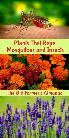 Learn more about the plants that repel mosquitoes and insects with The Old Farmer's Almanac!