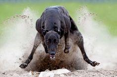 Stunning head-on shot of a greyhound at full tilt.  By Rob Van Thienen, Belgium, Shortlist, Sport, 2013 Sony World Photography Awards