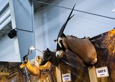 Great Oryx antelope trophy seen during Polish Hunting Fairs - Hubertus EXPO 2015. Hunt beautiful beasts of the wild with us!