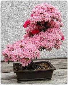 Funny pictures about A Cherry Tree Bonsai. Oh, and cool pics about A Cherry Tree Bonsai. Also, A Cherry Tree Bonsai photos. Beautiful Flowers, Prunus, Ikebana, Tree Seeds, Cherry Blossom Flowers, Bonsai Azalea, Japanese Cherry Blossom, Plants, Planting Flowers