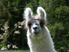 Image result for woolly llama Animals, Image, Animaux, Animal, Animales, Animais