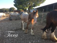 Chanel - red mare - 4 years