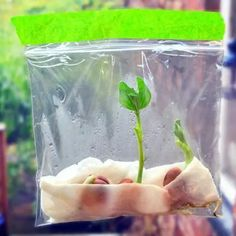 growing a bean plant in a ziploc bag - Bing Spring Activities, Science Activities, Science Projects, Outdoor Learning, Kids Learning, The Tiny Seed, Traditional Tales, Jack And The Beanstalk, Spring Theme