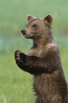 Grizzly Bear Cub Playing Katmai
