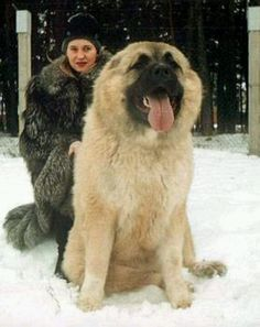 Russian Caucasian Mountain Dog Used For Hunting Small Bears cute animals dogs adorable dog animal pets facts did you know Pet Dogs, Dogs And Puppies, Dog Cat, Doggies, Pet Pet, Corgi Puppies, Weiner Dogs, Huge Dogs, I Love Dogs