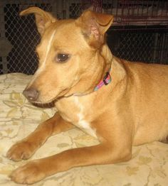 """COOKIE is a 1.5 year old, 19 lb Feist mix. Poor Cookie's elderly human dad died. Is great w/ kids! Foster mom says """"She's a loving lap dog! Loves to have her belly rubbed! Is great w/ my dogs & cats! Good on a leash - stays right by my side. WIll need plenty of walks or fenced yard. Is a love bug & a wonderful pet!"""" Will do well w/ a couple or single woman, as she likes women than men. Is spayed, crate-trained, heartworm negative & current on vaccines. Visit WWW.LULUSRESCUE.COM/ADOPT to…"""