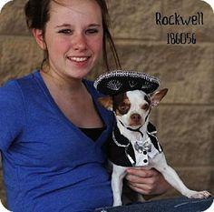 Conroe, TX - Chihuahua. Meet ROCKWELL, a dog for adoption. http://www.adoptapet.com/pet/10565543-conroe-texas-chihuahua