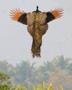 Pavo real volando!