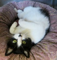 Mommy is a very cute and friendly 4-year old petite tuxedo girl; she has stunning eyes and very soft fur. She is loving, enjoys attention and is good around other cats.This sweet girl some how found her way to the shelter and is looking for a loving...