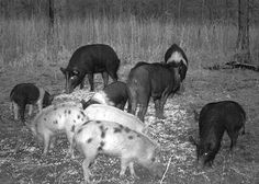 Trapping wild hogs is a process...not an event! Learn more about how to trap wild hogs here.