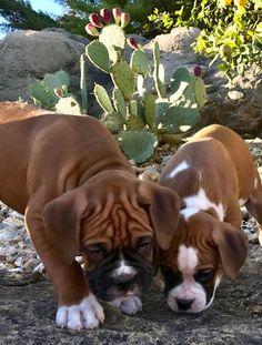 Boxer pup Photo Credit Brett Kaemmerer