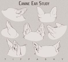 Canine Ear Study/Tutorial by TIFFASHY