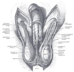 Henry Gray Anatomy of the Human Body Reproductive System, Endocrine System, Human Anatomy Art, Anatomy Organs, Subcutaneous Tissue, Gym Workout For Beginners, Muscle Anatomy, Skin Clinic, Arte Horror