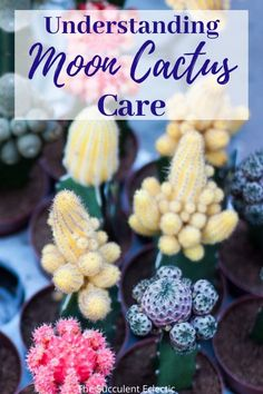 Learn all about the colorful and controversial Moon Cactus. What is it? How to care for it? And how to make your own!  #succulents #cactus #mooncactus #cactuscare #graftedcactus #mooncactuscare