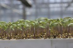 Das ist unsere Tomatenkleinkindgruppe, 2 Wochen alt! ;) #Tomaten #Gärtnerei #Garten #gardening #Tomatenpflanze