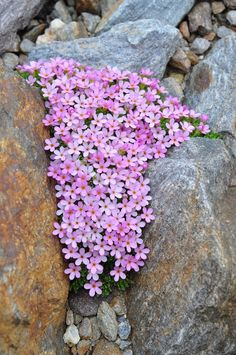 ANDROSACE ALPINA (Androsace dei ghiacciai. Alpen-Mannsschi… | Flickr Flower Garden, Plants, Amazing Flowers, Rock Garden Plants, Beautiful Flowers, Landscaping With Rocks, Rockery Garden, Rock Flowers, Beautiful Gardens