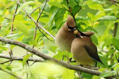 These Cedar Waxwings that are sharing a meal. The 25 Most Romantic Animals That Ever Lived Pretty Birds, Love Birds, Beautiful Birds, Animals Beautiful, Beautiful Pictures, Romantic Animals, Fat Bird, Cedar Waxwing, Christmas Bird