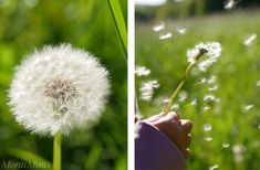 Themenwoche: Vom Löwenzahn zur Pusteblume (inkl. Download) - Montessori Blog & Shop - MontiMinis Montessori, Most Beautiful Pictures, Cool Pictures, Quotes Deep Feelings, How To Start Yoga, Running Away, Dandelion, Told You So, Blog